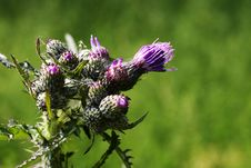 Free Prickly Thistle Royalty Free Stock Photography - 2688637