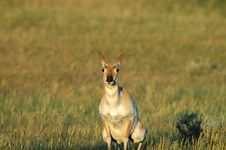 Free Pronghorn Behavior Royalty Free Stock Photo - 2688855