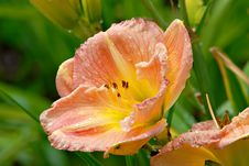 Free Beverly Ann Daylily Stock Image - 2688881