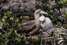 Free Red-footed Booby And Baby Stock Photography - 2688972