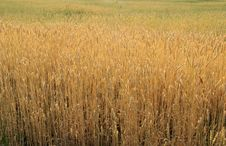 Free Gold Wheat Stock Image - 2689111