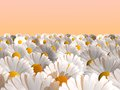 Free Daisies Stock Images - 26808234