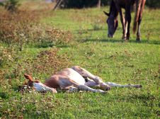 Free Lying Foal Stock Photos - 26800173