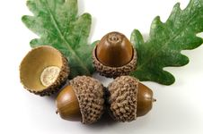 Free Acorn Royalty Free Stock Images - 26800879
