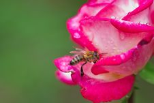 Free Bee On Rose Stock Photos - 26809043