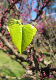 Free Young Green Leaves Of A Lilac In The Form Of Heart Royalty Free Stock Photo - 26809115