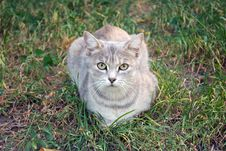 Free Gray Cat On The Autumn Grass Royalty Free Stock Images - 26809359