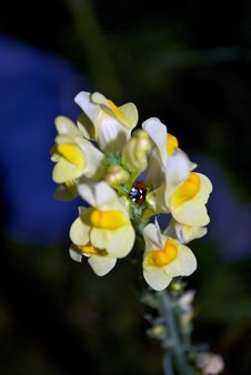 Free Ladybug In A Flower Royalty Free Stock Photo - 26809375