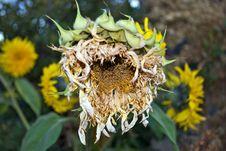 Free Ripe Sunflower Stock Photos - 26809383