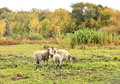 Free Sheep In The Pasture Royalty Free Stock Image - 26812266