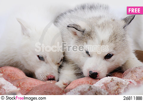 Free Two Puppies Of Siberian Huskies Royalty Free Stock Photos - 26811888