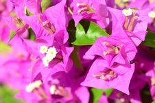 Pink Flowers &x28;bougainvillea&x29; Stock Images