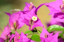 Free Pink Flowers &x28;bougainvillea&x29; Stock Photo - 26811210