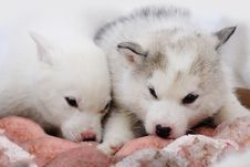 Free Two Puppies Of Siberian Huskies Royalty Free Stock Photos - 26811888