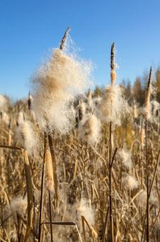 Free Cattail Stock Photo - 26812010