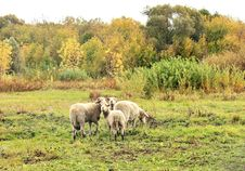 Sheep In The Pasture Royalty Free Stock Image