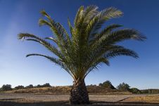 Free Date Palm Tree &x28;Phoenix Dactylifera&x29; Stock Photography - 26814842