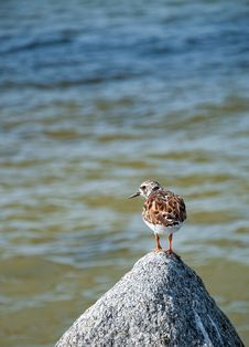 Free Bird On A Rock Stock Photography - 26815562