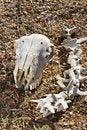 Free Sheep Skull Stock Photos - 26826423