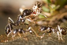 Free Worker Ants Royalty Free Stock Photo - 26822165