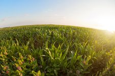 Free Field Of Corn Stock Image - 26822471