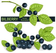 Bilberries &x28;blueberries&x29; With Leaves. Royalty Free Stock Image