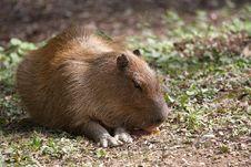 Free Capybara Stock Image - 26823131