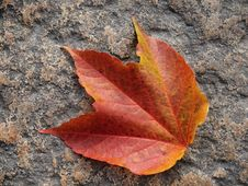 Free Colorful Autumn Leaf Of The Wild Vine Stock Photo - 26825040