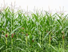 Free Corn Field Royalty Free Stock Photography - 26825087