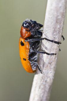 Free Leaf Beetle &x28;Lachnaia Paradoxa&x29; Royalty Free Stock Image - 26825726