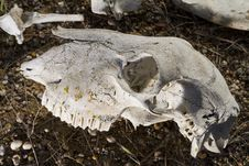 Free Sheep Skull Royalty Free Stock Photo - 26826185