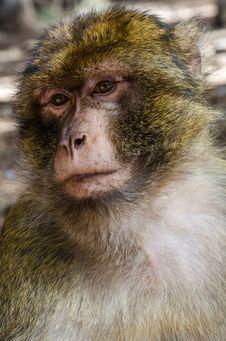 Free Sad Monkey Stock Image - 26826341