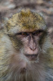 Free Wicked Monkey Royalty Free Stock Photography - 26826367