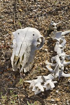 Free Sheep Skull Stock Photos - 26826423