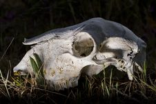 Free Sheep Skull Royalty Free Stock Photos - 26826568