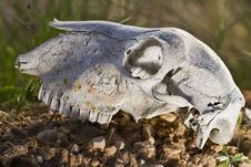 Free Sheep Skull Royalty Free Stock Photo - 26826585