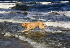 Free Labrador In The Sea Royalty Free Stock Image - 26826746