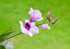 Free Beautiful Purple Orchid Royalty Free Stock Image - 26827096