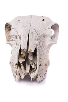 Free Sheep Skull Stock Image - 26827161