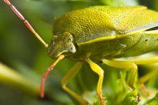 Free Stink Bug &x28;Nezara Viridula&x29; Royalty Free Stock Photos - 26827558