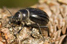 Free Black Beetle &x28;Pimelia Costata&x29; Royalty Free Stock Image - 26827846