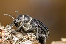 Free Black Beetle &x28;Pimelia Costata&x29; Royalty Free Stock Photo - 26827855