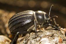 Free Black Beetle &x28;Pimelia Costata&x29; Royalty Free Stock Images - 26827959