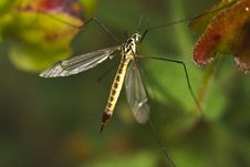 Free Ichneumon Wasp &x28;Syzeuctus&x29; Royalty Free Stock Photography - 26828417