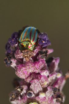 Free Rosemary Beetle &x28;chrysolina Americana&x29; Stock Photography - 26828492