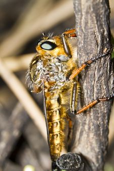 Free Giant Robber Fly &x28;proctacanthus Rodecki&x29; Royalty Free Stock Image - 26828996