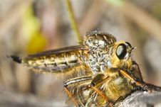 Free Giant Robber Fly &x28;proctacanthus Rodecki&x29; Stock Images - 26829104