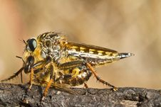 Free Giant Robber Fly &x28;proctacanthus Rodecki&x29; Stock Photography - 26829202