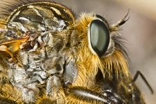 Free Giant Robber Fly &x28;proctacanthus Rodecki&x29; Stock Image - 26829221