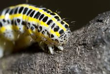 Cabbage Caterpillar Royalty Free Stock Photography